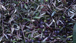 olives on the net after being harvested Footage