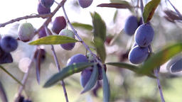 olive branch with olives Footage