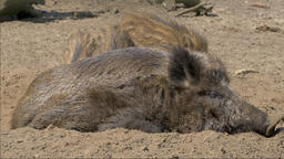 Adult boar is driving away young piglets disturbing it in…, Live Action