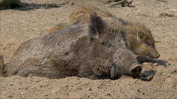 Adult boar is driving away young piglets disturbing it in resting Live Action