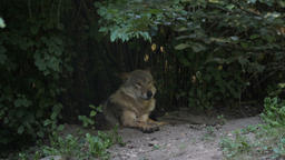 The gray wolf in a forest. Canis lupus Footage
