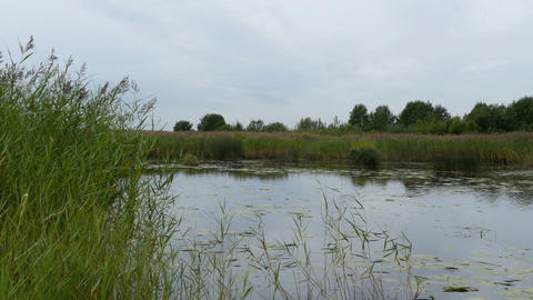 small lake overgrown with reeds wetland Live Action