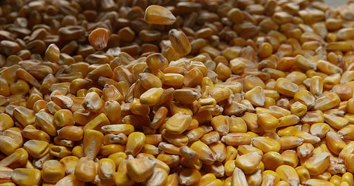 Corn, zea mays falling, Slow motion 4K Live Action