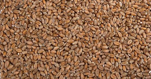 Wheat, triticum sp., Slow motion 4k Live Action