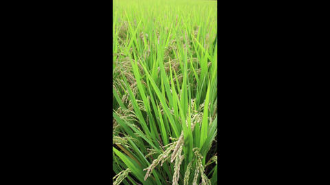 ear of rice Stock Video Footage