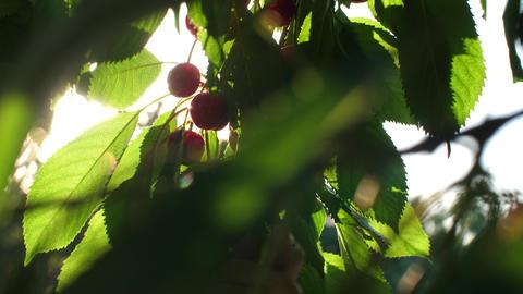 Hand picks cherries at sunset Live Action