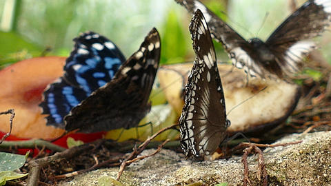 Butterflies feeding on fruit Live Action