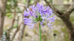 Asessippi Lilac flower in botanical garden, slider shot Footage