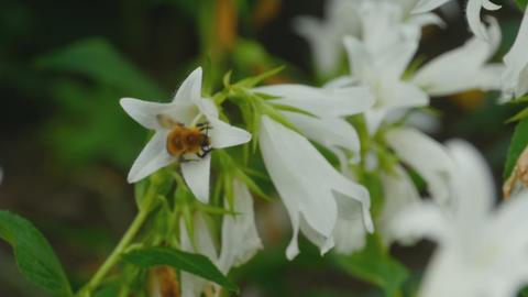 Bumblebee on Campanula flower Footage