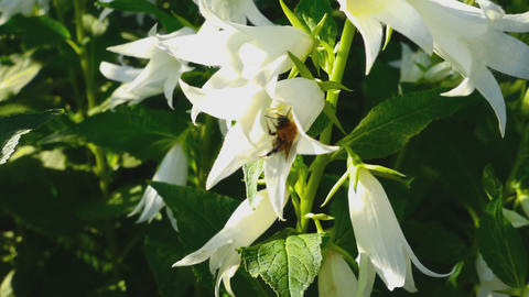 Bumblebee on Campanula flower Footage