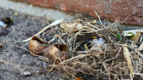 Colonie bumblebees working at nest in time lapse Footage