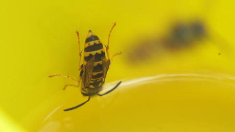 Wasps flew into a yellow mug and drink lemonade Live Action