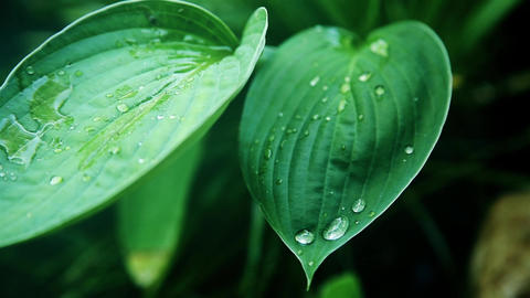 On a green wet leaf on a Sunny day posted a transparent drop of dew HD Footage
