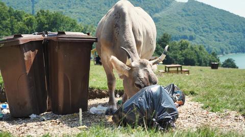 Cow eating garbage near garbage bins Live Action
