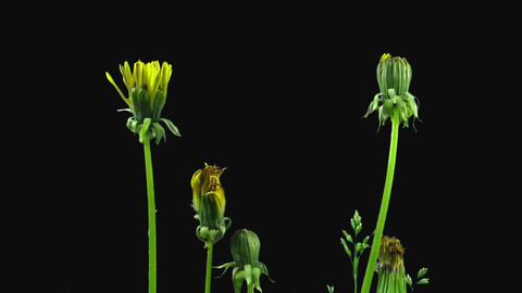Time-lapse of opening Dandelion flower in RGB + ALPHA matte format GIF