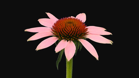 Time-lapse of opening Echinacea flower, 4K with ALPHA channel GIF
