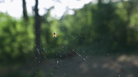 A young man hiker exploring the spider in the forest. Large forest spider Live Action