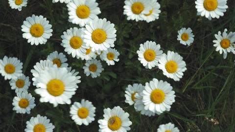 Top view of Chamomile flowers close up with soft focus swaying in the wind Live Action