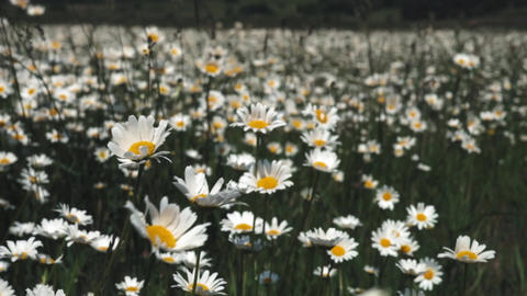Summer nature meadow flowers view. Summer chamomile field landscape. Chamomile Footage