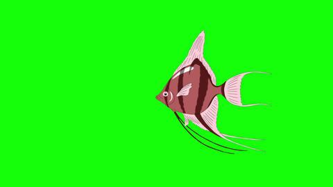 Small Pink Scalare Angelfish Chroma Key Animation