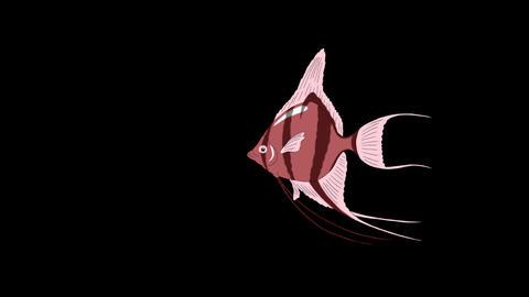 Small Pink Scalare Angelfish Alpha Matte Videos animados