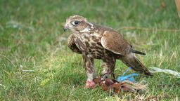 Saker falcon eats raw meat. Falco cherrug. Bird of prey Live Action