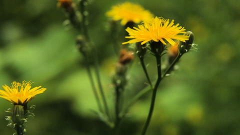 Beautiful yellow wildflowers Footage