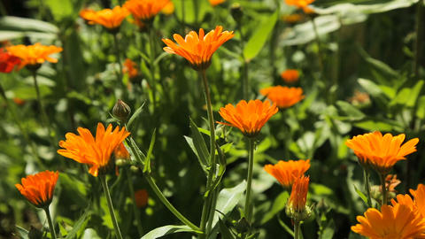 Beautiful orange wildflowers Footage