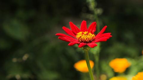 Beautiful red wildflower Footage