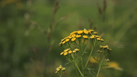 Beautiful yellow wildflowers Footage