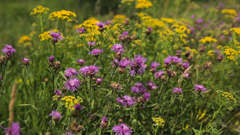 Beautiful wildflowers on the meadow Footage