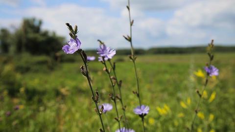 Beautiful purple wildflower Footage