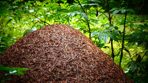 large anthill in a green wet forest Live Action