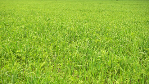 Green agricultural field, green grass on wind Live Action