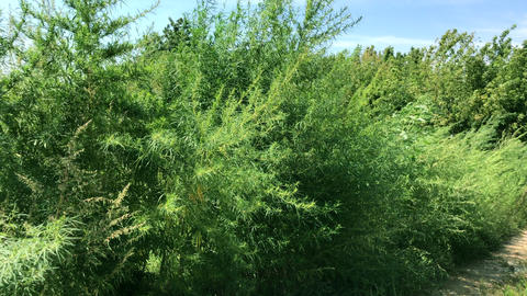 green tall growing hemp bushes on a summer day, the plant sways from a strong wind Acción en vivo