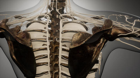 Transparent Human Body with Visible Bones ビデオ