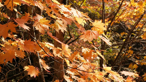 Orange maple leaves on tree blowing in the wind, autumn season Live Action