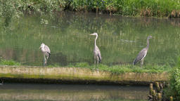 Three grey herons. Ardea cinerea. Birds Live Action