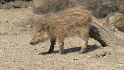 Piglets of wild boar. Sus scrofa Live Action