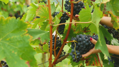 Red grapes bunches Footage