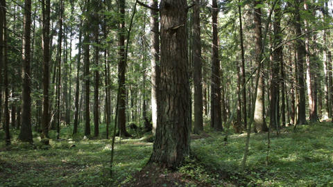 pine forest in summer panorama Footage