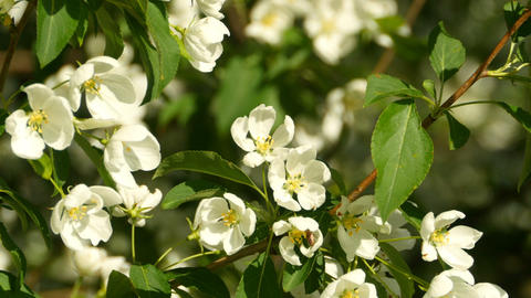 spring blooming apple tree close to Live Action