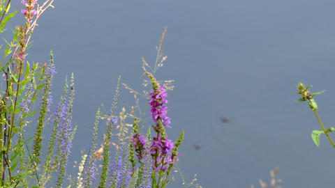 Wild Flowers Near the River, Summer Footage