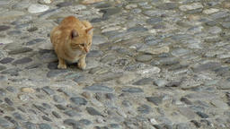 Europe Italy Liguria Airole village 022 peach colored cat on cobblestone street Footage