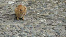 Europe Italy Liguria Airole village 022 peach colored cat on cobblestone street Footage