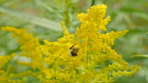 Yellow flowers of goldenrod Live Action