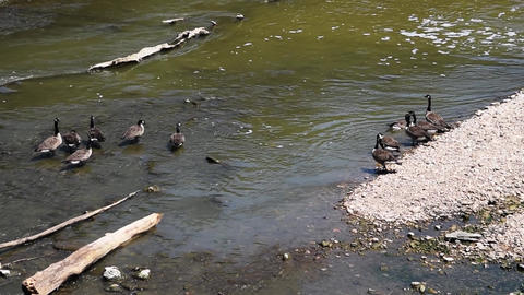 Ducks Cooling Off in Running Creek Footage
