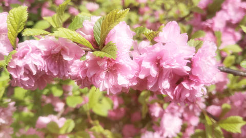 Natural background with pink Sakura flowers Footage