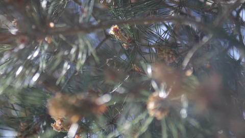 Pine Needles Footage