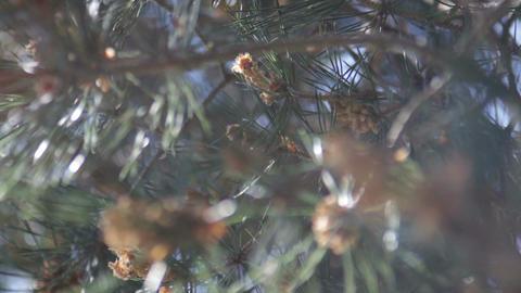 Pine Needles Footage